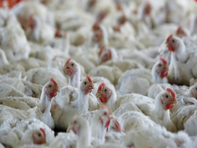 Senegal reports H5N1 bird flu outbreak on poultry farm