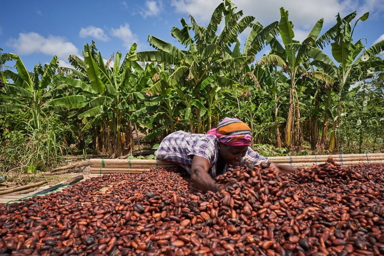 Ghana should worry about China's cocoa production by Prof Frimpong Boateng